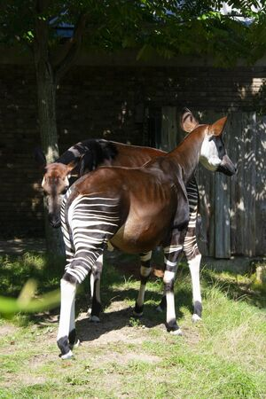 Exotic zebra okapi animal at the zoo. Isolated okapi family.