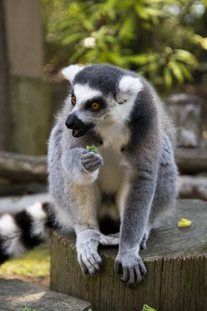 Close up Lemur monkey at the zoo, summer day. Cute extic animal