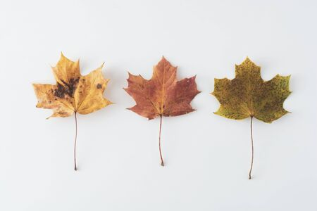 Autumn maple leaves isolated on white with copy space. Colorful composition of fall background