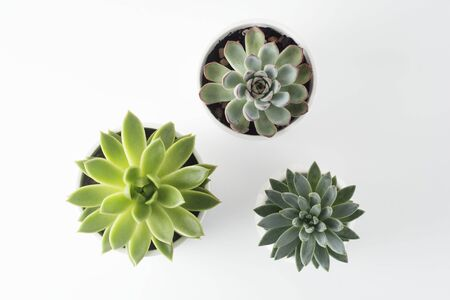 Top view of potted succulent plants set of three various types of Echeveria succulents. Copy space.