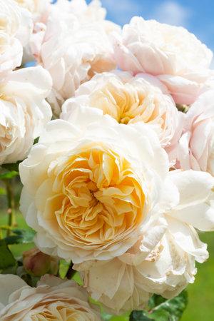 Beautiful white roses, summer blooming flower in the garden, english rose shrub.