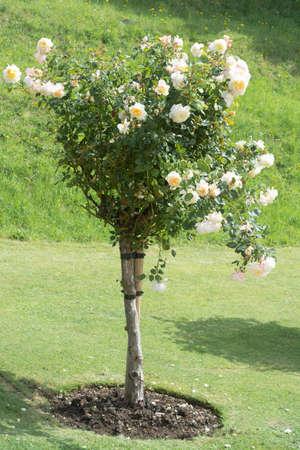 Rose bush tree blooming live english pin roses in formal garden, summer time 免版税图像