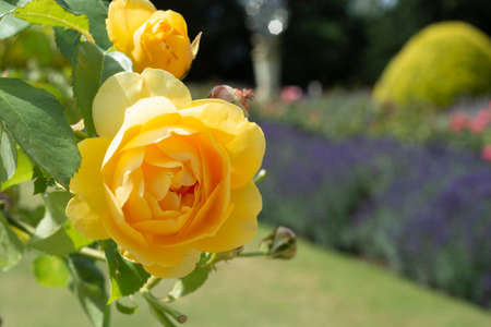 Close up yellow roses, summer blooming flower in the garden, english rose shrub.
