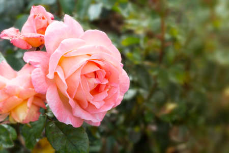 Beautiful white roses, summer blooming flower in the garden, english pink rose shrub.