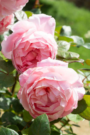 Pink english roses, summer blooming flower in the garden, english pink rose shrub.