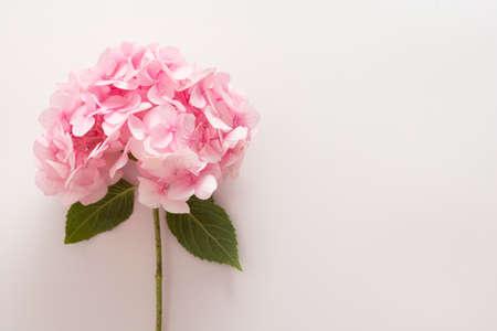 Pink hydrangea flowers on white background