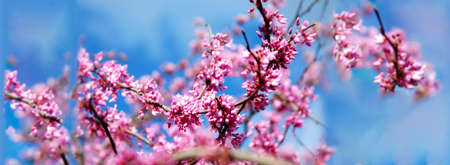 Spring banner or background with pink blossom. Beautiful nature scene. Easter Sunny day blue sky. 免版税图像