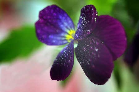 Violas or Pansies Closeup in a Garden Zdjęcie Seryjne