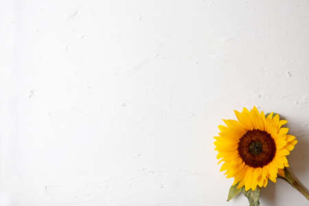Yellow sunflower on a white background. Space for Text. isolated on white background. Sunflower blooming. Bright yellow flowers Foto de archivo - 137896144