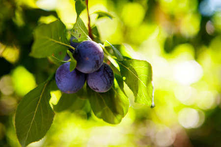 Prunus domestica - Plums on a tree. Dark tasty plums on a green branch behind sunlight. European plum Prunus domestica 'Cacaks Fruchtbare', Prunus domestica Cacaks Fruchtbare