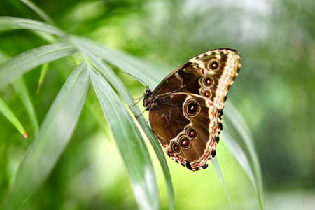 tropical butterfly Caligo Atreus sitting on the green grass. Beautiful incects- wild nature creatures