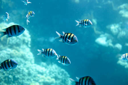 Sergeant-major fish school with water surface in background, underwater Caribbean sea. Egypt fish cichlids