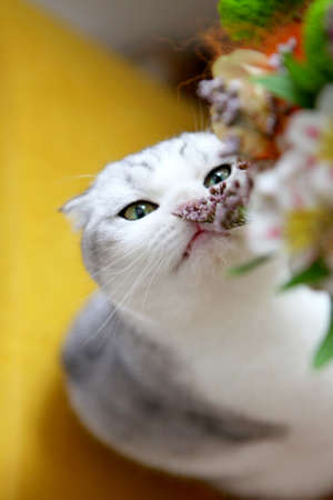 White cat eating bouquet of field flowers on a table. cat eating bouquet of flowers. Scottish fold cat near the flowers.