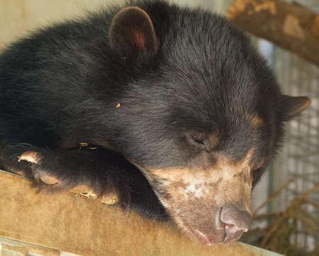 Sleeping spectacle bear