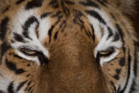 Los ojos del tigre Foto de archivo