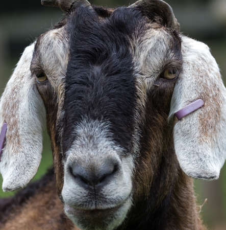 A headshot of an old goat.