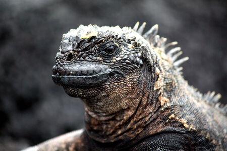 Marine Iguana  photo