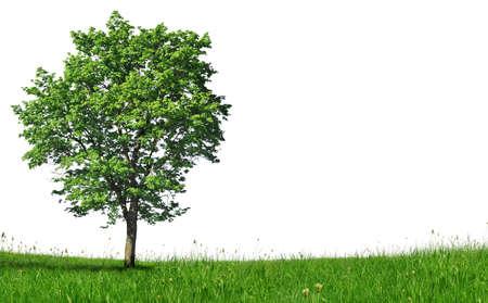pflanzen: Junger Ahornbaum auf Wiese
