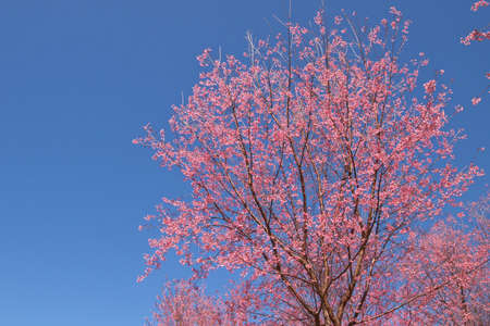 nus: cherry blossom in thailand Stock Photo