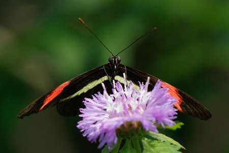 longwing: Heliconius longwing butterfly