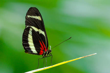 costa rican: Costa Rican Heliconius long wing butterfly Stock Photo