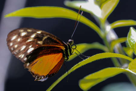 rican: Costa Rican Heliconius long wing butterfly Stock Photo