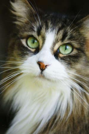 maine cat: gato