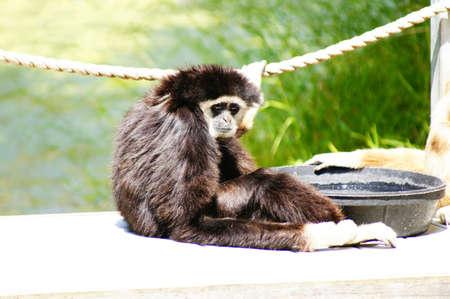 gibbon: Gibbon monkey