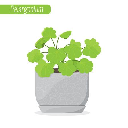 Pelargonium, Geranium. House plant, Decorative plant concept. Illustration