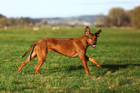 ridgeback: A running gundog Rhodesian Ridgeback Stock Photo