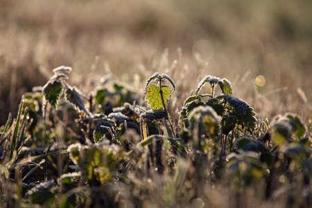 stinging  nettle: A stinging nettle on a frosty morning