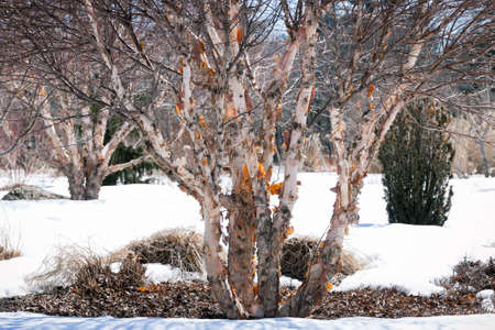 barks: A river birch or red birch, betula nigra, with peeling bark, in winter