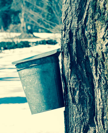 sap: Covered vintage maple sap bucket hung on tree with background of spring snow Stock Photo