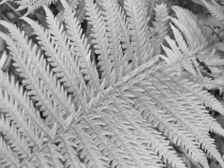 silver fern: Silver effect background of a close-up fern frond, selective focus