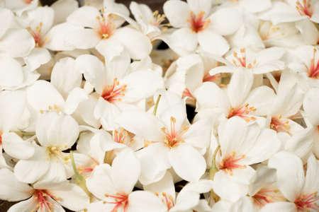 Tung blossomVernicia fordii Tungoil Tree Tung tree  Aluerites fordii Hemsi Aleurites montana in full blossom