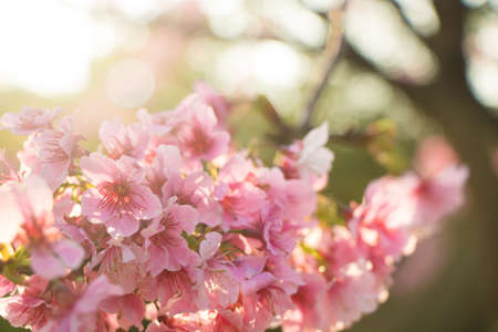 Cherry blossom flower in blooming with branch isolated on blurred background for spring season in Taipei, Taiwan. 版權商用圖片
