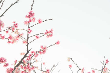 Cherry blossom flower in blooming with branch isolated on white background for spring season.