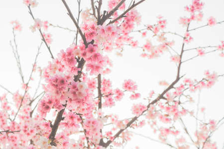 Cherry blossom flower in blooming with branch on white background for spring season.