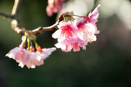 Cherry blossom flower in blooming with branch isolated on blurred background for spring season in Taipei, Taiwan. 免版税图像
