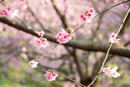 Cherry blossom flower in blooming with branch isolated on blurred background for spring season in Taipei, Taiwan. 新聞圖片
