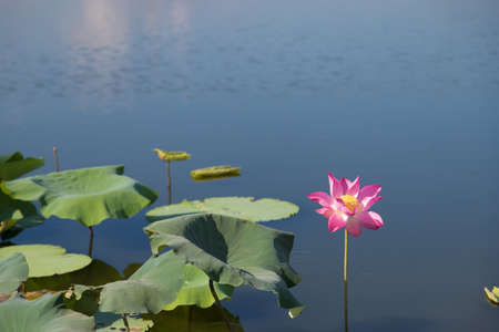 Beautiful lotus flower in the pond. This is the flower of the Buddha.