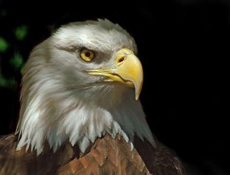 accipitridae: Head of Bald Eagle