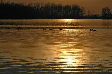 Ducks swiming on a leke during a sunset