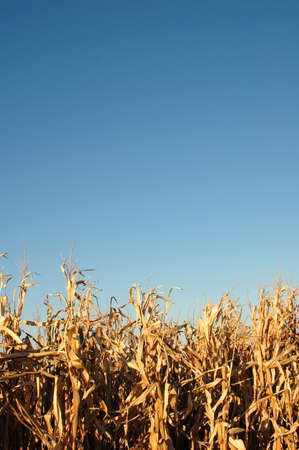 Cornfield over clear blue sky in late afternoon