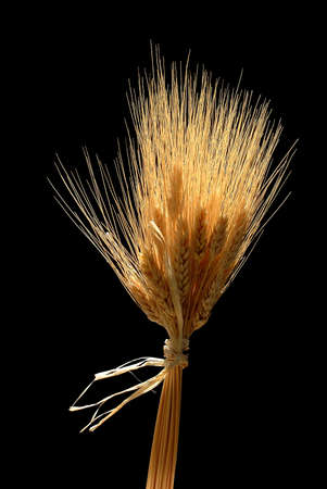 bunched: Wheat Bunched together over a black Background