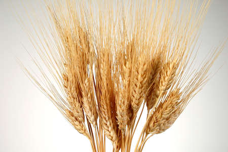bunched: Golden Wheat bunched together over a neutral background