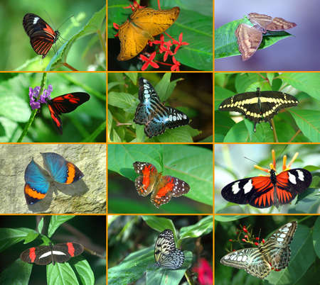 Butterfly montage showing the diversity of the butterfly world.