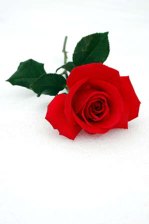 Red rose over a snowy background