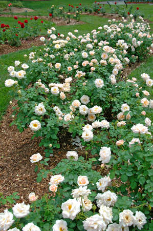 Rose garden with white and red roses. Stock Photo