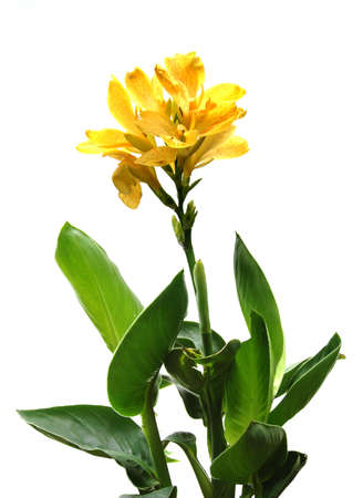 Yellow canna plant isolated over a white background Banco de Imagens